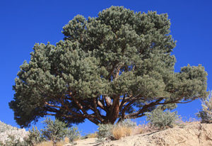 Pinon Pine Tree, Source of Pinon wood. Image Source: Wikipedia