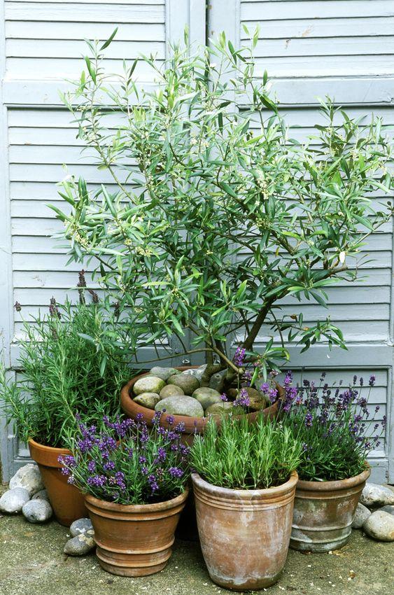 Olea Europaea (Olive Tree) one of the best patio plants around!