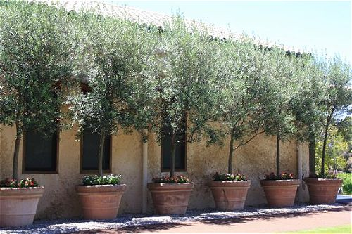 Potted Olive