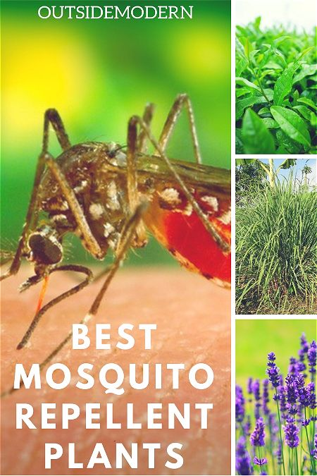 Best Mosqutio Repellent Plants
