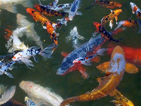 Koi Pond Fish Together