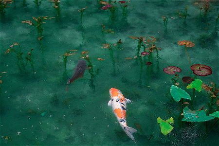 koi pond and lilly pads