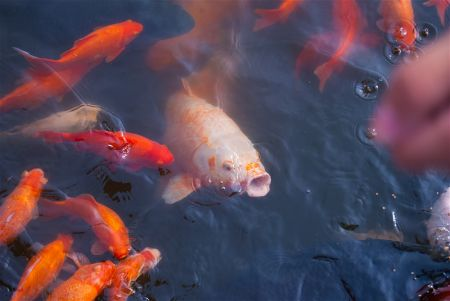 building a koi pond step by step guide