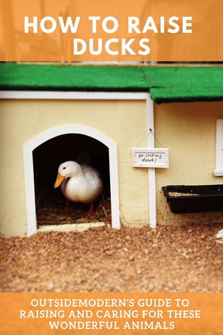 How to Raise Ducks: The Love of a Duck! | OutsideModern