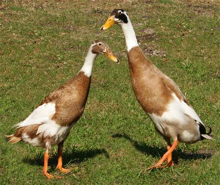Indian Runner Ducks (source: wikipedia)