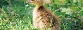 duckling on grass