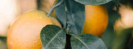 dwarf fruit trees available online