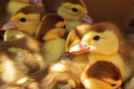 flock of ducklings